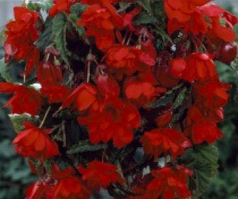 Hangbegonia (Begonia cascade) rood
