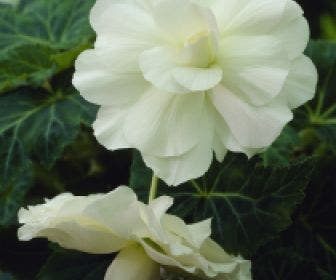 Hangbegonia (Begonia cascade) wit
