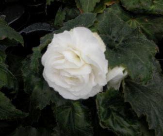 Begonia grootbloemig dubbel (Begonia grandiflora) wit.