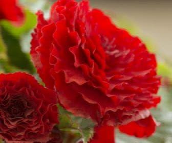 Begonia dubbel grootbloemig (Begonia grandiflora) rood