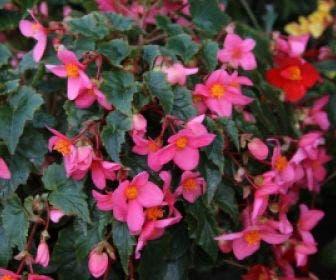 Begonia (Begonia multiflora 'Le Madelon')