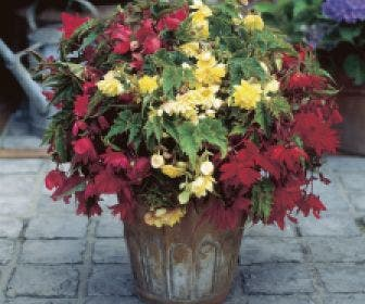 Hangbegonia (Begonia cascade) mix