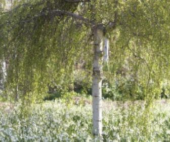 Treurberk (Betula pendula 'Tristis')