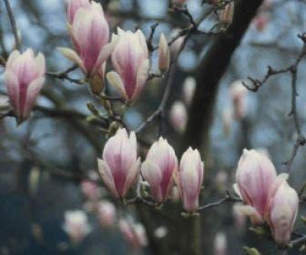 Beverboom (Magnolia soulangeana als boom)