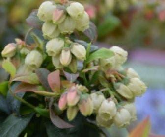 BerryBux blauwe bes (Vaccinium angustifolium 'BerryBux')