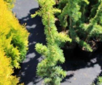 Atlasceder (Cedrus libani 'Atlantica Aurea')