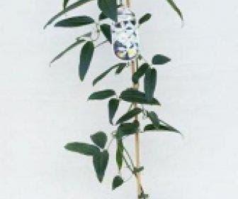 Groenblijvende Clematis (Clematis armandii 'Enham Star')