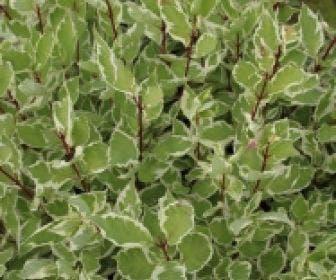 Bonte kornoelje (Cornus alba 'Elegantissima')