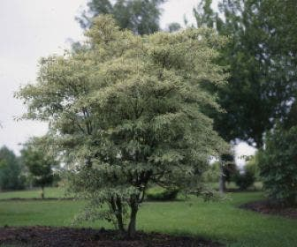 Kornoelje (Cornus alternifolia 'Argentea')