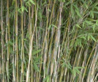 Bamboe (Fargesia nitida 'Nymphenburg')