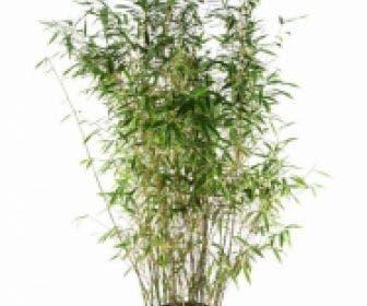 Niet woekerende bamboe (Fargesia 'Dino')