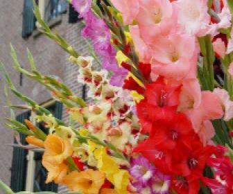 Gladiolen (Gladiolus grootbloemig mix)