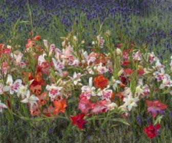Gladiolen (Gladiolus nanus gemengd)