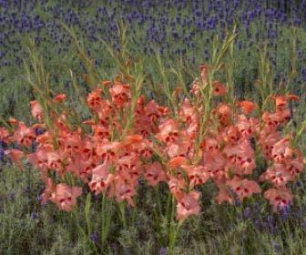 Gladiolen (Gladiolus nanus 'Nathalie')