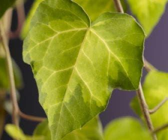 Kaukasische Klimop (Hedera colchica 'Sulphur Heart')
