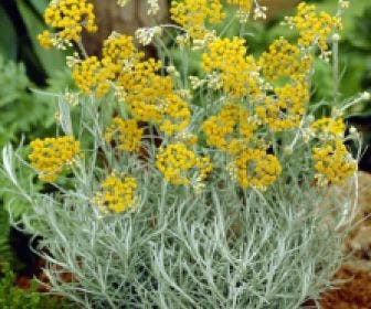 Kerrieplant (Helichrysum italicum)