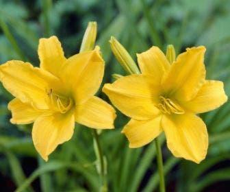 Daglelie (Hemerocallis 'Aten')
