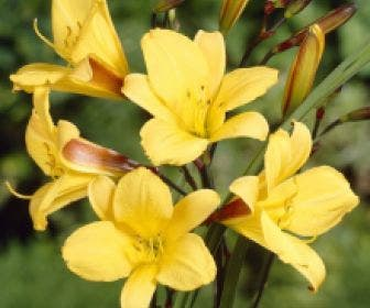Daglelie (Hemerocallis 'Corky')