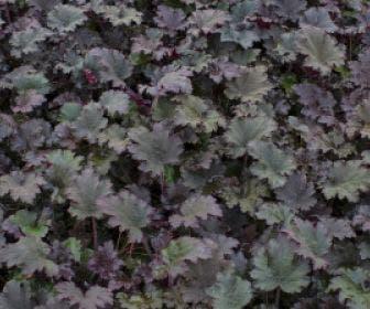 Purperklokje (Heuchera 'Binoche')