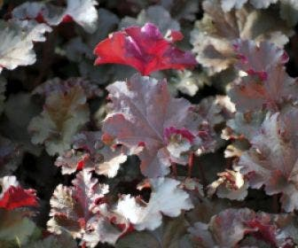 Purperklokje (Heuchera 'Chocolate Ruffles')