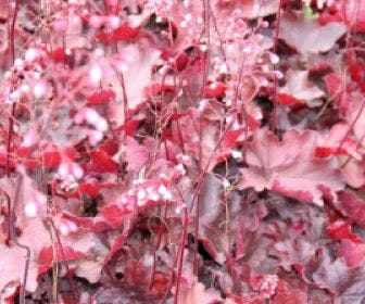 Purperklokje (Heuchera 'Fire Chief')