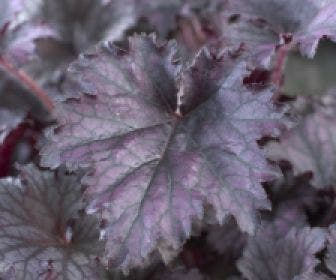 Purperklokje (Heuchera 'Frosted Violet')