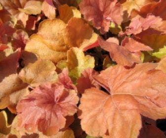 Purperklokje (Heuchera 'Northern Exposure Amber')