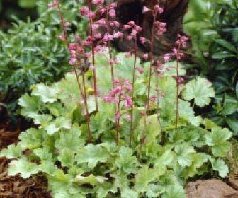 Purperklokje (Heuchera 'Petite Pink Bouquet')