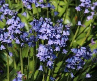 Boshyacint (Hyacinthoides hispanica blauw)