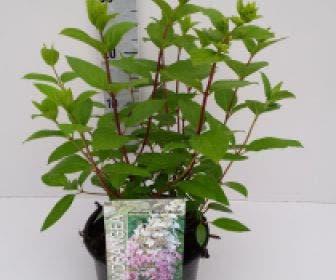 Pluimhortensia (Hydrangea paniculata 'Angels Blush' )