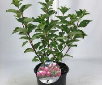 Pluimhortensia (Hydrangea paniculata 'Fraise Melba')