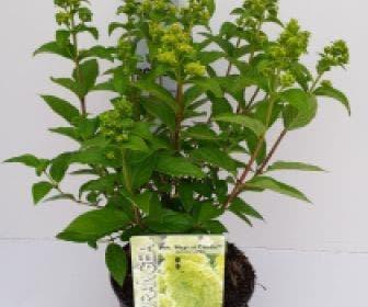 Pluimhortensia (Hydrangea paniculata 'Magical Candle')