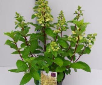 Pluimhortensia (Hydrangea paniculata 'Candlelight')