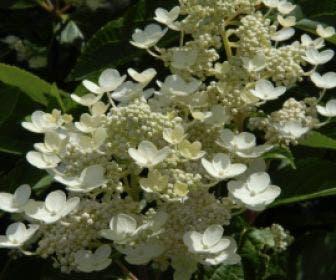 Pluimhortensia (Hydrangea paniculata 'Dharuma')