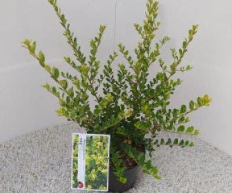 Japanse hulst (Ilex crenata 'Green Hedge')