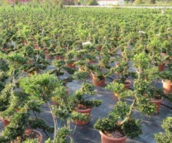 Japanse hulst als bonsai (Ilex crenata )