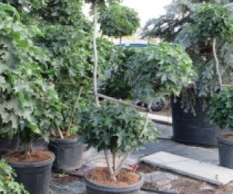 Amberboom als bonsai (Liquidambar 'Gum Ball')
