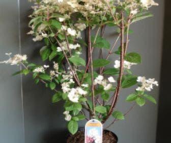 Pluimhortensia (Hydrangea paniculata 'Early Sensation')
