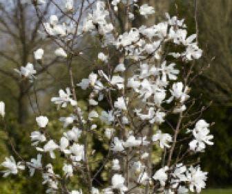 Beverboom (Magnolia loebneri 'Merrill')