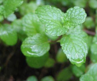 Groene Munt (Mentha spicata)