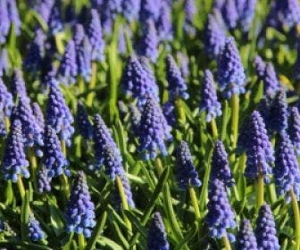 Blauwe Druifjes (Muscari armeniacum)