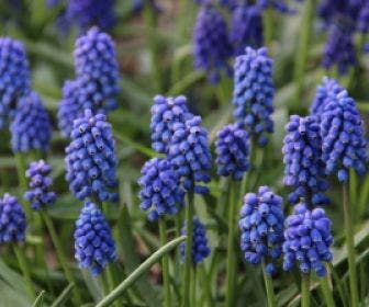 Blauwe Druifjes (Muscari aucheri 'Blue Magic')