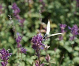 Kattekruid (Nepeta racemosa 'Grog')