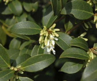Schijnhulst (Osmanthus burkwoodii)