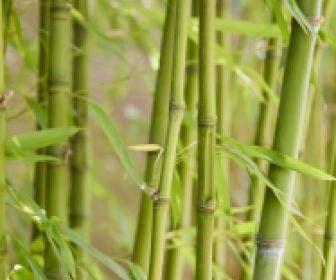 Bamboe (Phyllostachys aurea)