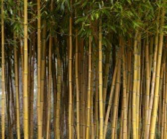 Bamboe (Phyllostachys aureosulcata 'Spectabilis')