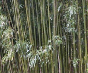 Bamboe (Phyllostachys viridiglaucescens)