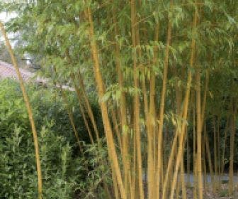 Bamboe (Phyllostachys vivax 'Aureocaulis')