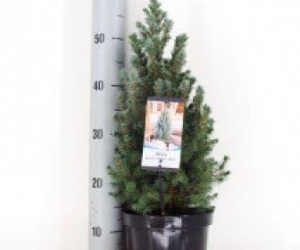 Blauwe Alberta spar (Picea glauca Sander's Blue)