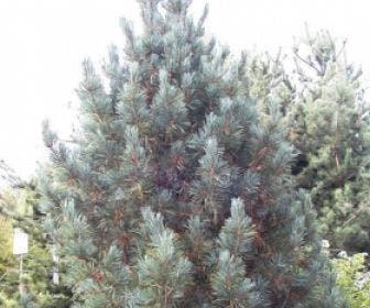 Alpenden (Pinus cembra 'Glauca')